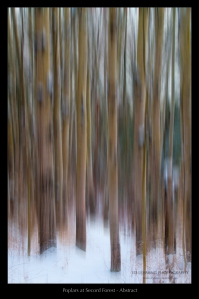 Poplars at Secord Forest - Abstract