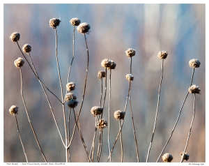 """Past Beauty"" - Dead Flowerheads, Wendat Pond, Stouffville"