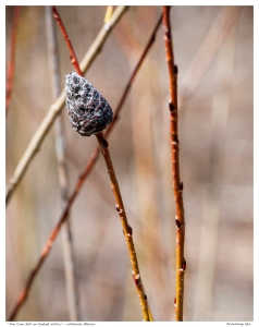 """Pine Cone Gall on Sanbank Willow"" - Whitevale, Ontario"
