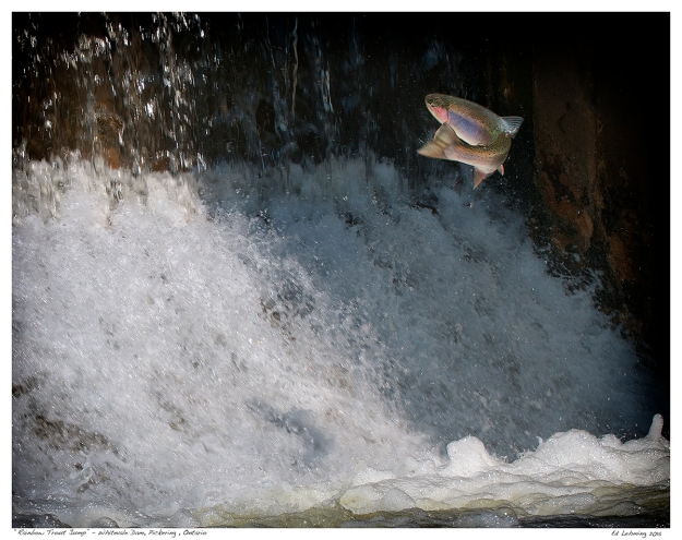"""Rainbow Trout Jump"" - Whitevale Dam, Pickering , Ontario"