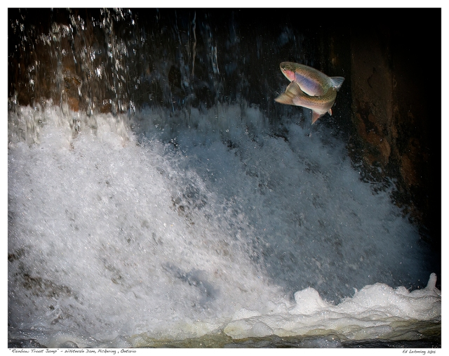 """Rainbow Trout Jump"" - Whitevale Dam, Pickering , Ontario"