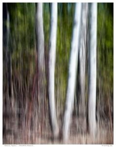 """Reservoir Poplars"" - Stouffville Reservoir"