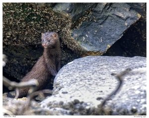Mink on York River II