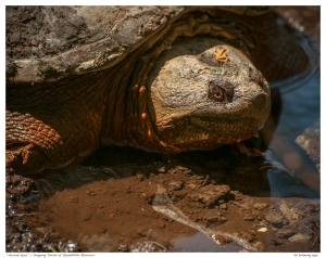 """Ancient Eyes"" - Snapping Turtle at Stouffville Reservoir"