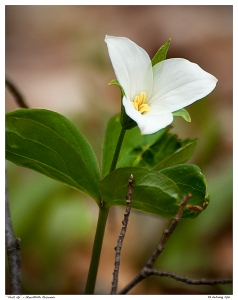 """First Up"" - First White Trillium of the season, Stouffville"