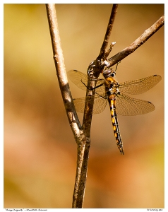 """Orange Dragonfly"" - Stouffville Reservoir"
