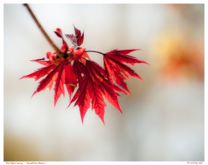 """Red Maple Spring"" - Stouffville, Ontario"