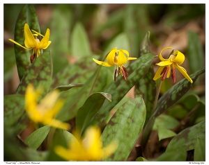 """Trout Lily"" - Stouffville Reservoir"