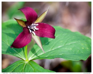 """Wake-Robin"" - Red Trillium at Stouffville Reservoir"