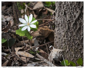 """Bloodroot"" - Duffins Creek, Whitevale, Ontario"