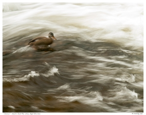 """Choices"" - Duck in York River below High Falls Dam"