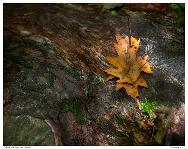 """Fallen Oak Leaves on Stump"""