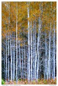 """Golden Poplars"" - Secord Conservation Area"