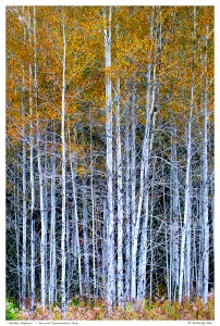 """Golden Poplars"" - Secord Conservation Area"