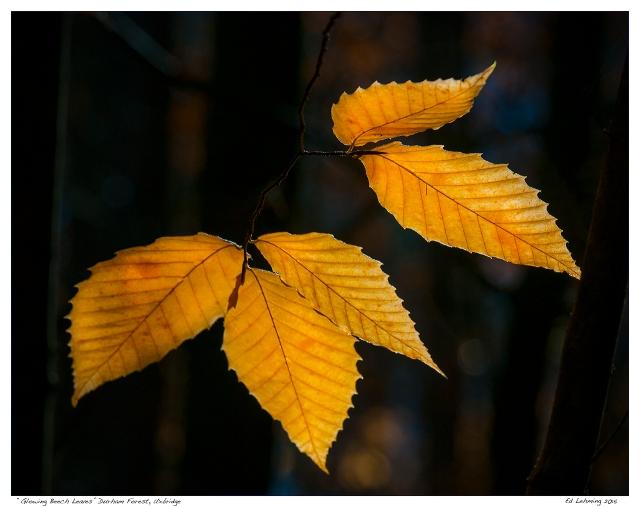 """Glowing Beech Leaves"" Durham Forest, Uxbridge"