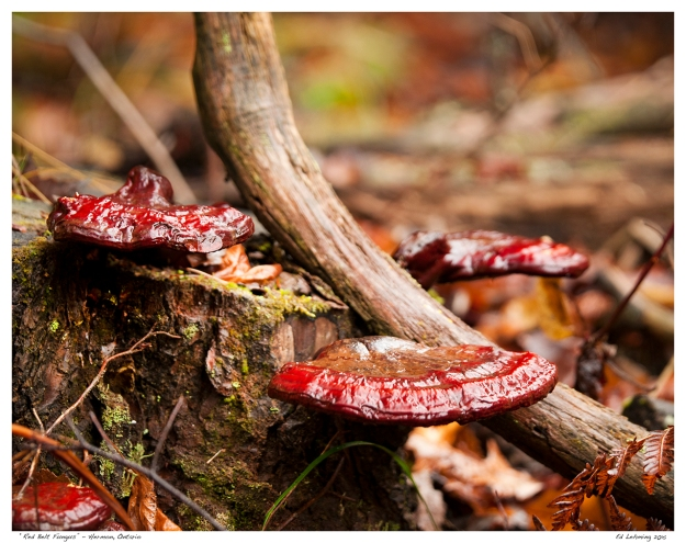 """Red Belt Fungus"" - Hermon, Ontario"
