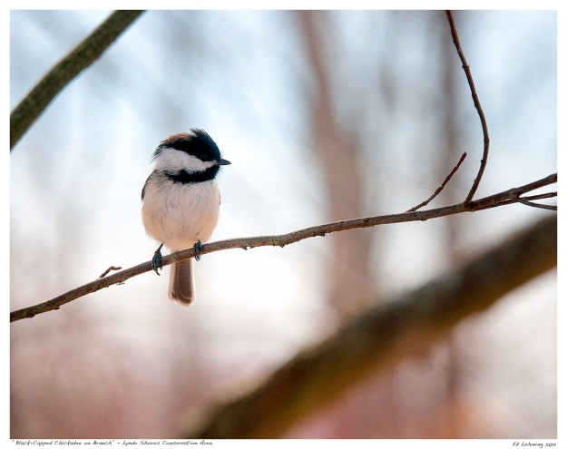 Black-Capped Chickadee at Lynde Shores