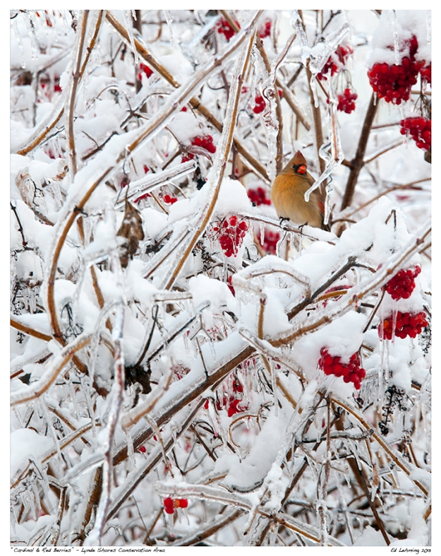 Cardinal and Red Berries