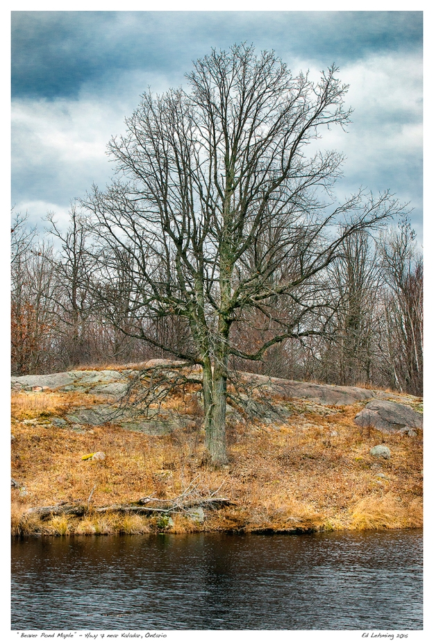 """Beaver Pond Maple"" - Hwy 7 near Kaladar, Ontario"