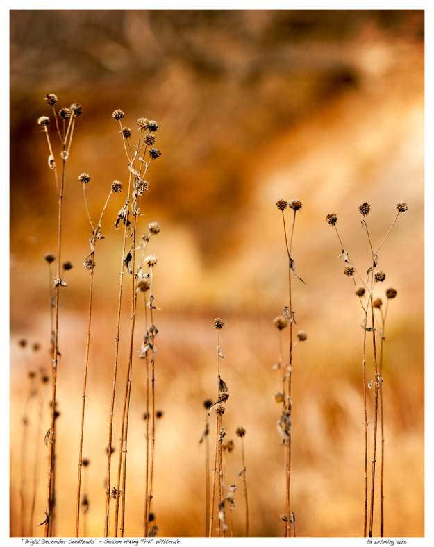 """Bright December Seedheads"" - Seaton Hiking Trail, Whitevale"
