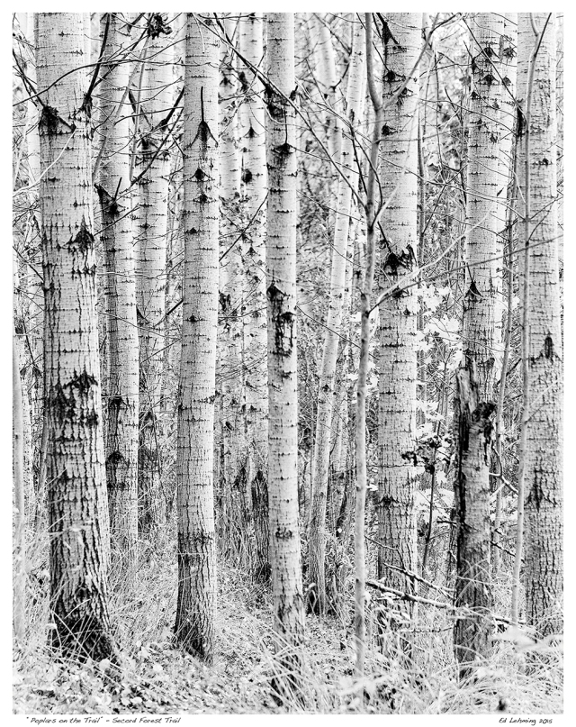 """""""Poplars on the Trail"""" - Secord Forest Trail"""