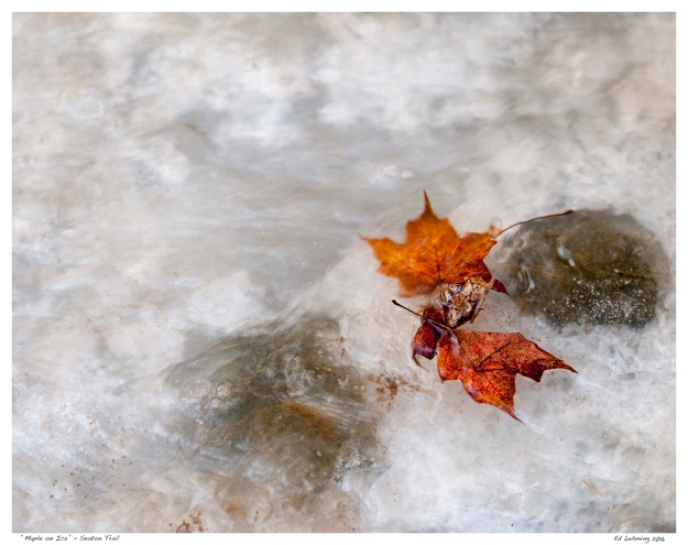 """Maple on Ice"" - Seaton Trail"
