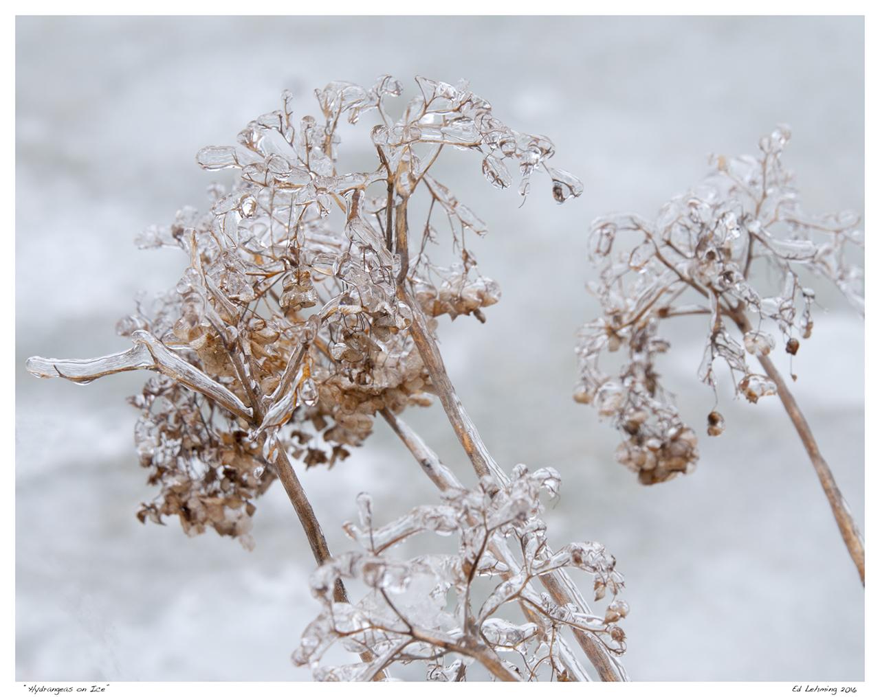 """""""Hydrangeas on Ice"""""""