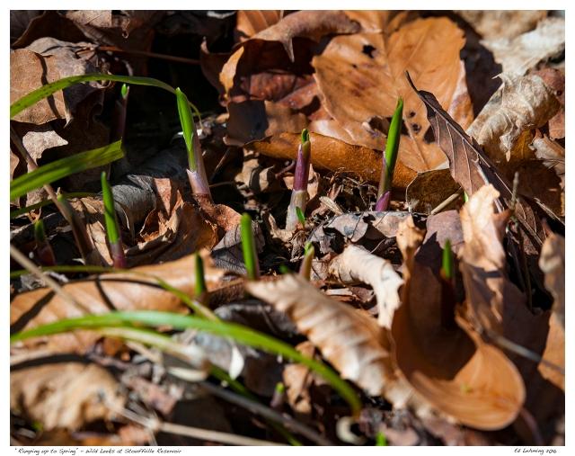 """Ramping up to Spring"" - Wild Leeks at Stouffville Reservoir"