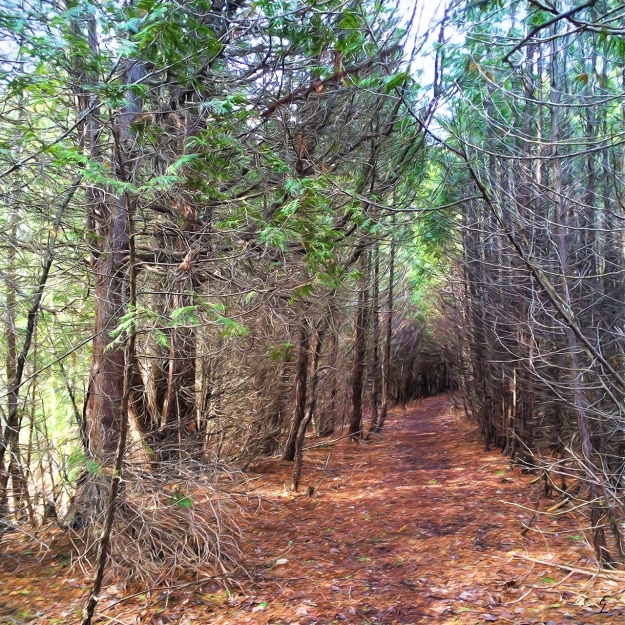 Walk Among the Cedars - Secord Forest