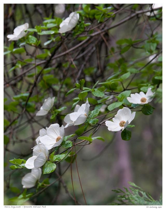 Dogwood Blossoms - Mirrror Lake Loop 2013