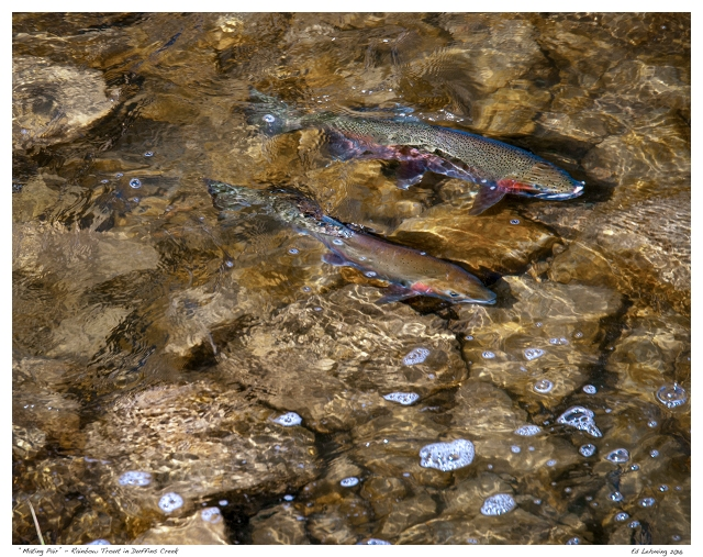 """Mating Pair"" - Rainbow Trout in Duffins Creek"