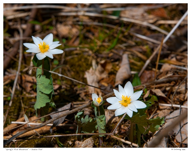 """Spring's First Bloodroot"" - Seaton Trail"