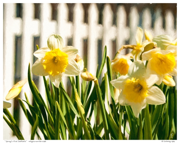 """Spring's First Daffodils""  -Niagara-on-the-Lake"