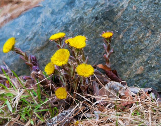 """Coltsfoot by Boulder"""