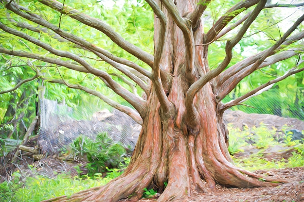 """Ancient Redwood"" - Edwards Gardens, Toronto"