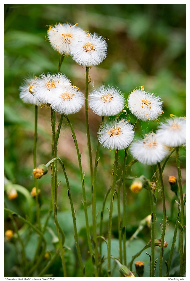 """""""Coltsfoot Seed Heads"""" - Secord Forest Trail"""