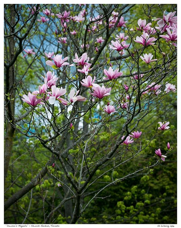 """Dawson's Magnolia"" - Edwards Gardens, Toronto"