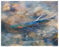 """Duffins Creek Rainbow Trout"""
