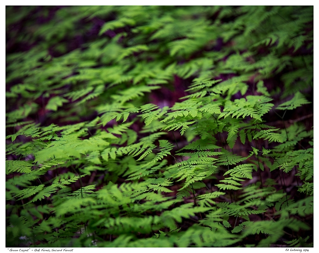 """Green Carpet"" - Oak Ferns, Secord Forest"