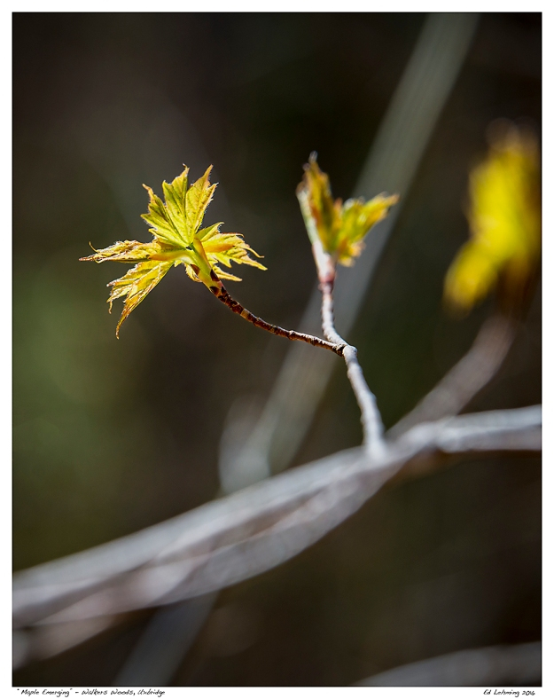 """Maple Emerging"" - Walkers Woods, Uxbridge"