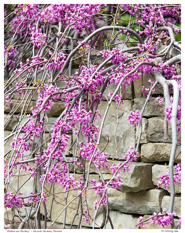"""Redbud and Rockery"" - Edwards Gardens, Toronto"