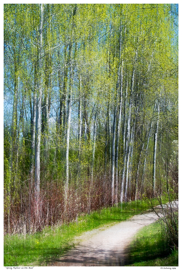 """Spring Poplars on the Bend"""