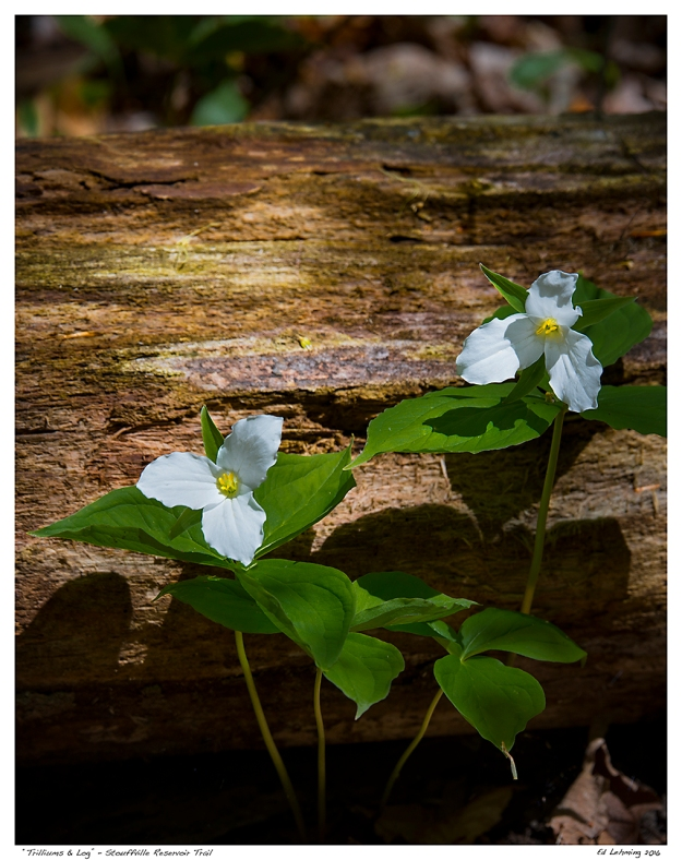 """Trilliums & Log"" - Stouffville Reservoir Trail"