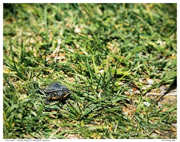 """Very Small"" - Painted Turtle at Stouffville Reservoir"