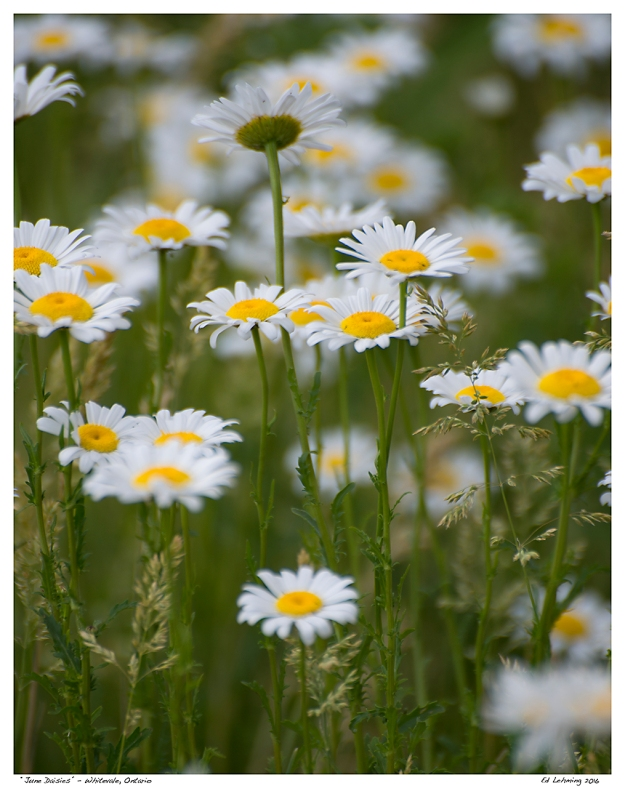 """June Daisies"" - Whitevale, Ontario"