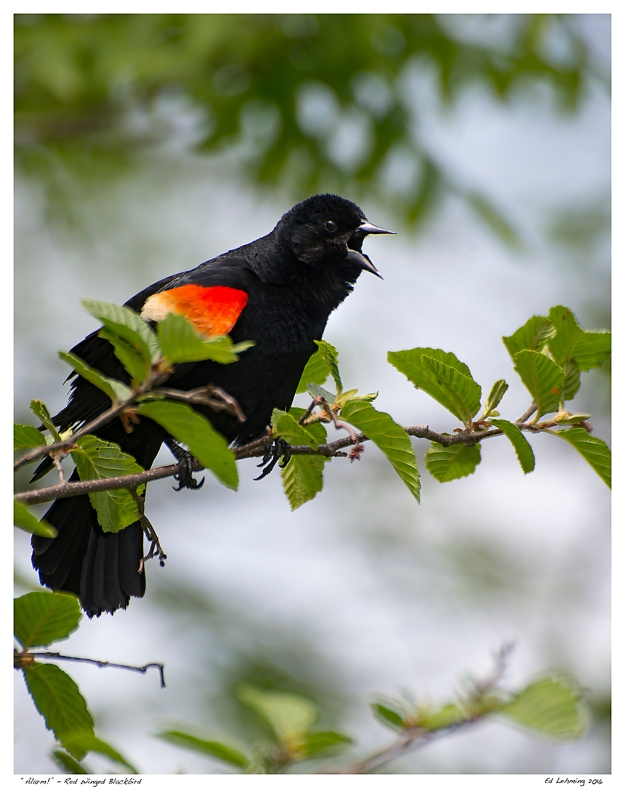 """Alarm!"" - Red Winged Blackbird"