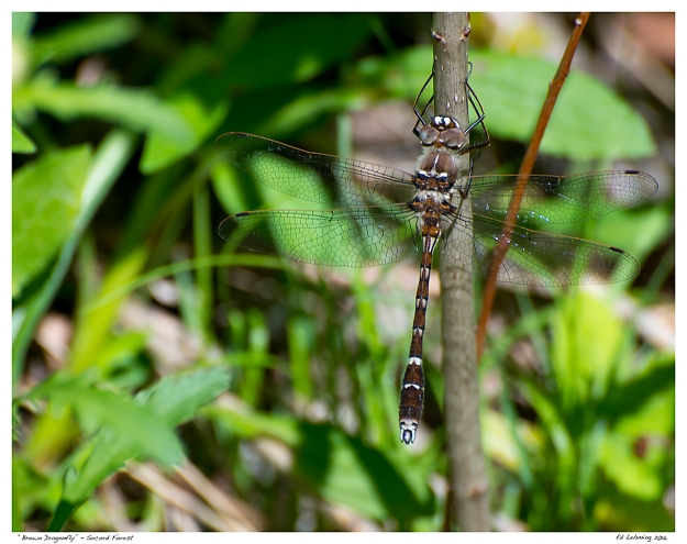 """Brown Dragonfly"" - Secord Forest"