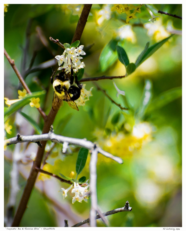 """Carpenter Bee & Russian Olive"" - Stouffville"