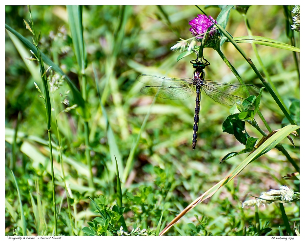 """Dragonfly & Clover"" - Secord Forest"