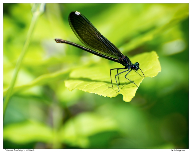"""Emerald Jewelwing"" - Whitevale"